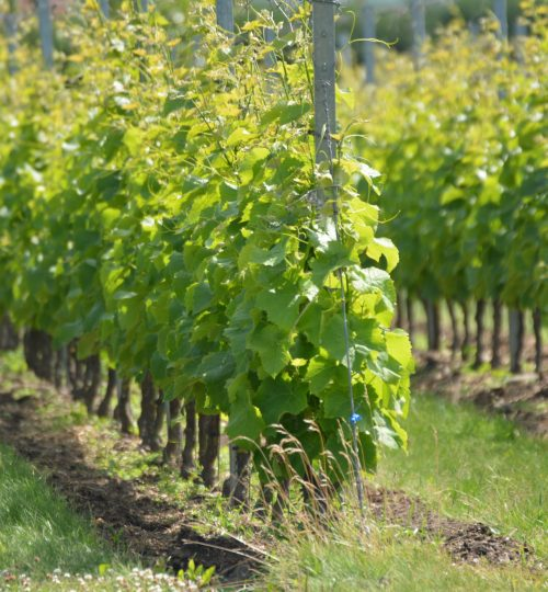 Vinrankor i Klagshamn